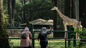 Pengunjung Taman Margasatwa Ragunan Jakarta sedang melihat jerapah-1634727318